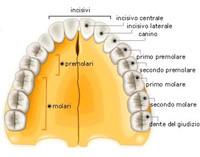 dentizione_permanenti